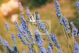 Fotografia a yellow swallowtail butterfly papilio multicaudata on a lavender flower