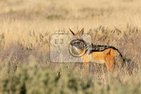 blackbacked jackal canis mesomelas in natural habitat etosha park namibia africa safari wildlife