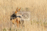 Photo blackbacked jackal canis mesomelas in natural habitat etosha park namibia africa safari wildlife