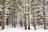 snowy trees in forest beautiful concept for winter nature and forest