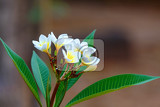 Fotografie white flowers frangipani plumeria in overcast day with natural background nosy be madagascar wilderness