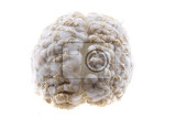 human brain isolated on the white background