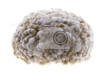 Fotografie human brain isolated on the white background