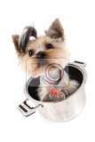 small yorkie dog yorkshire terrier in the pot