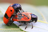 two orange beetles are having sex in nature