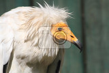detail of vulture with white head as nice bird