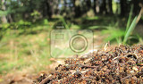 Fotografie ant colony as nice natural insect background