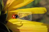 ladybird on the sunflower as nice natural background