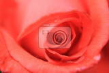 red rose as very nice natural background