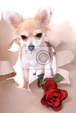 small chihuahua and rose isolated on the white background