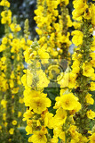 mullein plant with yellow flowers as nice background