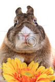 small brown bunny pet with yellow flower  isolated on the white background