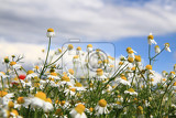 chamomile field and blue sky as natural flower background