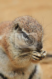 Fotografie exotic squirrel is eating small nut very quickly
