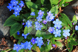 Fotografie forgetmenot spring flower as nice natural background