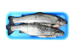 Fotografia twoo rainbow trouts isolated on the white background