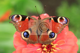 emperor butterfly on the flower in the garden
