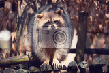 portrait of raccoon procyon lotor also known as the north american raccoon