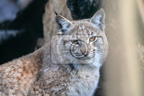 eurasian lynx lynx lynx is a mediumsized wild cat occurring from northern central and eastern europe to central asia and siberia the tibetan plateau and the himalayas