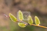 beautiful fluffy sprig of weeping willow blossomed in early spring with shallow focus and space for text easter concept salix caprea
