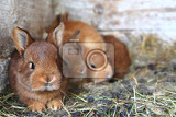 Fotografia rabbits from small home farm in their boxes