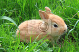 small brown rabbit in the spring green grass