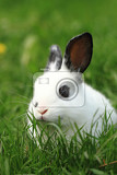 Fotografia black and white rabbit in the green grass