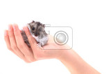 dzungarian mouse in the human hands isolated on the white background
