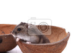 dzungarian mouse in the coconut isolated on the white background