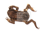 daed frog isolated on the whit background