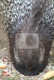 Photo porcupine is eating old rolls and vegetable