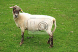 Fotografia sheep from small home farm on the green grass