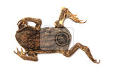 dead frog isolated on the whit background