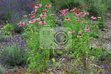 echinacea flowers in the medicine herbs garden
