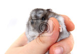 dzungarian hamster in human hands as nice pet