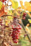 autumn red grapes as nice natural background
