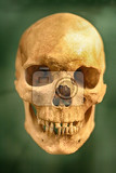 very old human skull on the green background