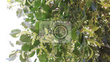 detail of basswood flowers as nice natural background