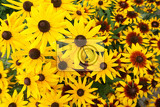 Fotografie yellow echinacea flowers as nice natural background