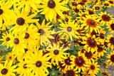 Fotografie yellow echinacea flowers as very nice natural background