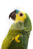 green parrot isolated on the white background