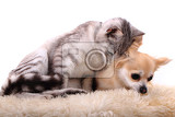 Fotografie cat and chihuahua are resting isolated on the white background