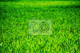 Fotografia real fresh green grass background in the nature