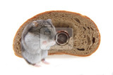 dzungarian hamster and bread isolated on the white background