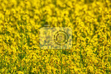 nice natural yellow flower from the spring field