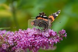 the butterfly of tortoiseshell sits on lilac
