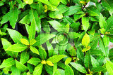 laurel plant texture as very nice natural background