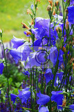 Fotografie blue bell flowers as nice natural background