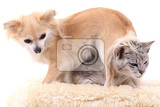 Fotografie gray cat and chihuahua as friends together