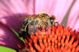 Fotografie small bee and violet echinacea flower in the summer